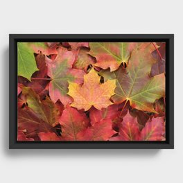 Yellow, green and red maple leaves Framed Canvas
