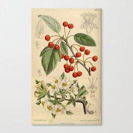 Malus sargentii, Rosaceae Canvas Print