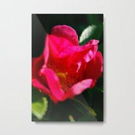 Glowing Wild Alaskan Rose by Mandy Ramsey, Haines, Alaska Metal Print