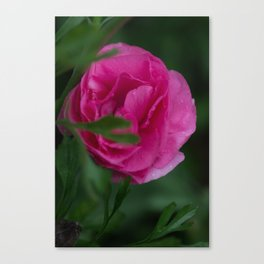 Pink Ranunculus Queen Canvas Print