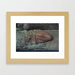 Northern Caiman Lizard Framed Art Print