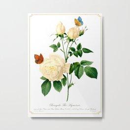 Rosa chinensis odorata Metal Print