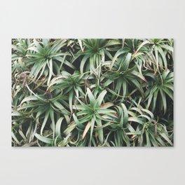 Aloe, mate. Canvas Print