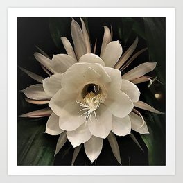 Night Blooming Cereus Art Print