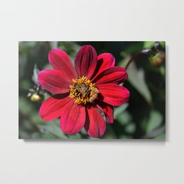Two Bees on a Red Dahlia Metal Print