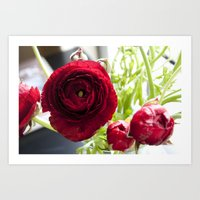 Ranunculus Red Art Print