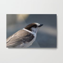 Gray Jay Portrait Metal Print