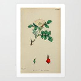Irish Burnet-Rose, rosa hibernica64 Art Print
