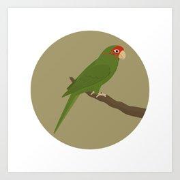 Mitred Parakeet Art Print