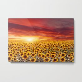 Field of blooming sunflowers on a background sunset Metal Print