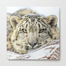 Snow Leopard 3 Metal Print