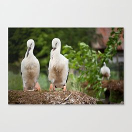 Orphaned two White Storks Canvas Print