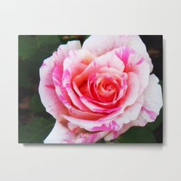 Red white Rose Close up Metal Print