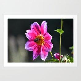 Bee on a Pink Dahlia Art Print