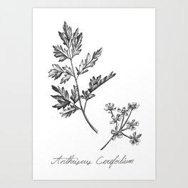Chervil Botanical Illustration Art Print