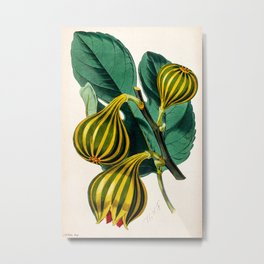 Fig plant, vintage illustration Metal Print