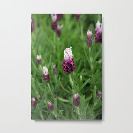 Wild lavender 1015 Metal Print