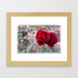 Autumn red rose Framed Art Print