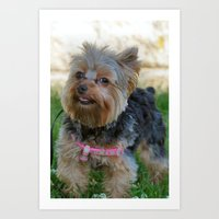 yorkie Art Prints featuring Little Yorkie by IowaShots