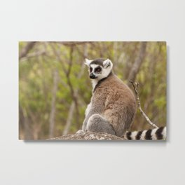 Ring Tailed Lemur Madagascar Metal Print