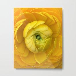 """Ranunculus, """"Buttercup"""" Metal Print"""