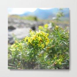 Watercolor Flower, Yellow Saxifrage 01, Dalvik, Iceland Metal Print