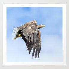 White Tailed Sea Eagle Art Print