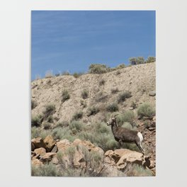 Bighorn Sheep 02 Poster
