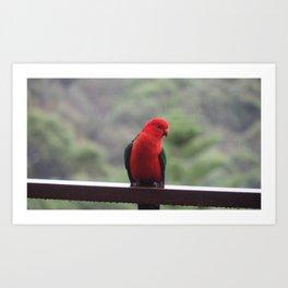 King Parrot in the rain Art Print