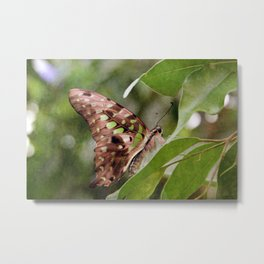 Tailed Jay Butterfly Metal Print