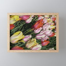 Field of Rainbow Tulips in Albany, NY Framed Mini Art Print