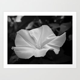 Midnight in the Garden, Moonflower at night Art Print