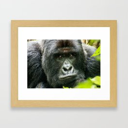 Silverback starring at you Framed Art Print