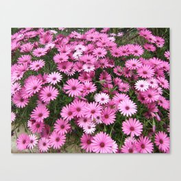 DAISIES IN PINK Canvas Print