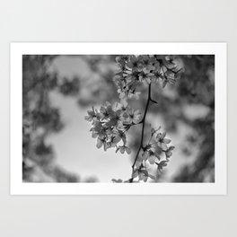 B&W Cherry Blossoms Art Print