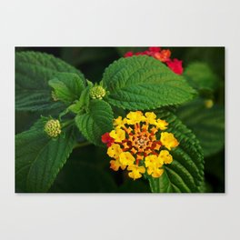 Red and Yellow Lantana Flower and Green Leaves Canvas Print