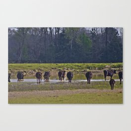 Cattle Canvas Print