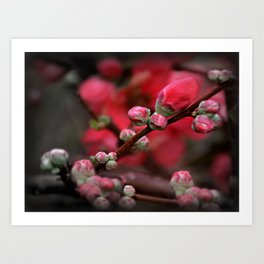 Japanese Red Quince Art Print
