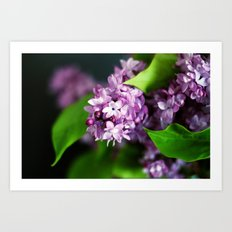 fresh lilacs Art Print