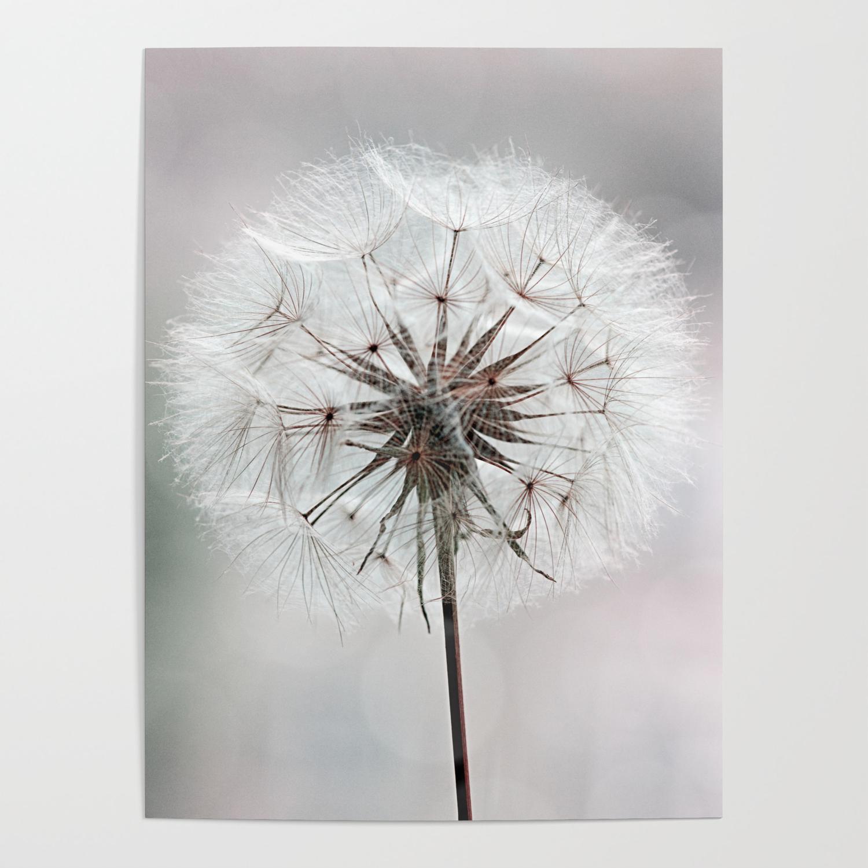 Delicate Dandelion Flower In Soft Light Poster By Lebensartphotography Society6
