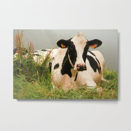 Holstein cow facing camera Metal Print