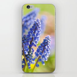 Blue Muscari Mill flowers close-up in the spring iPhone Skin