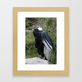 Male Andean Condor on a Rock Framed Art Print