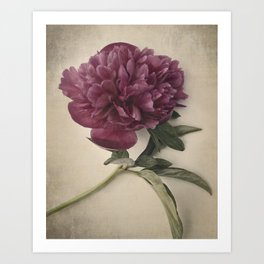 Scents of Spring - Burgundy Peony ii Art Print