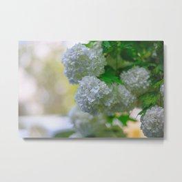 White Viburnum Flowers Branch Close Up Spring Metal Print