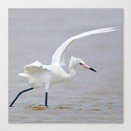 White Phase Reddish Egret Hunts in the Gulf Canvas Print