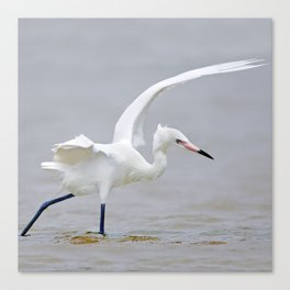 White Phase Reddish Egret Hunts in the Gulf Canvas Print