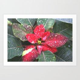 Raindrops on a poinsettia Christmas flower Art Print