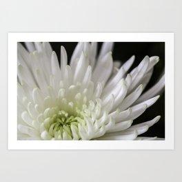 white and green chrysanthemum Art Print