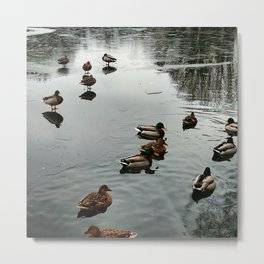 Mallard Ducks Enjoy a Partially Ice Covered Pond Metal Print